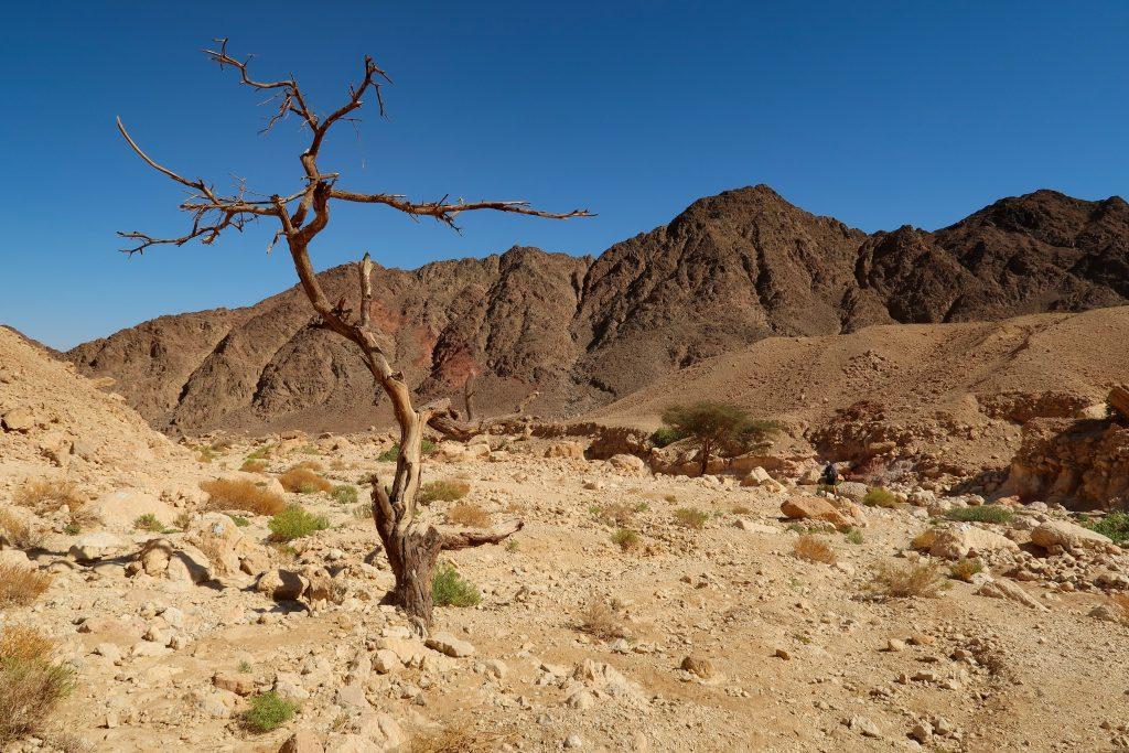 Osamělý strom v poušti Negev na Israel National Trail